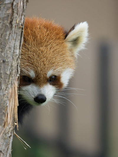 Ailurus Fulgens Alertness Animal Animal Body Part Animal Eye Animal Hair Animal Head  Animal Themes Beauty In Nature Close-up Day Focus On Foreground Lesser Panda Mammal Nature No People Outdoors Portrait Red Panda Selective Focus Snout Whisker Wildlife Zoo