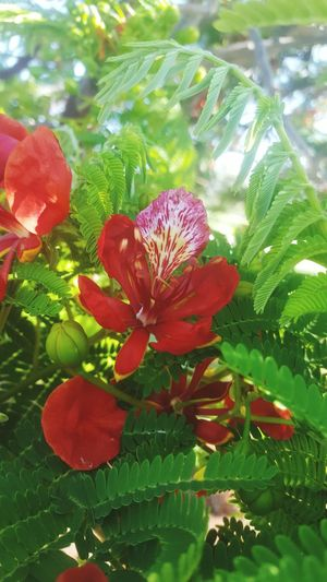 Hawaii Floral Flower Red Enjoying Life Taking Photos Flowering Trees
