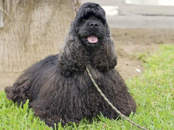 Happy Dog Tongue Out Black Dog Dog Dog On A Leash Funny Dog Happy Face Leash Long Hair Dog Pet Portraits