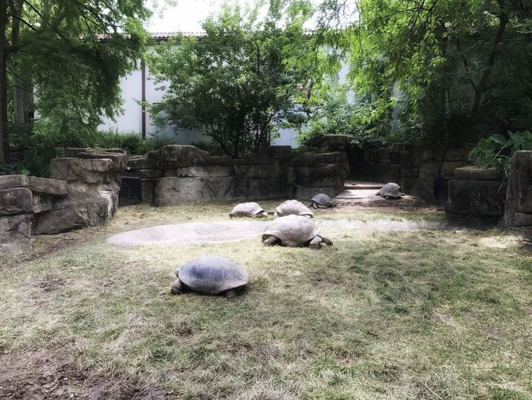 """https://youtu.be/PJlmYh27MHg """"They do move in Herds ."""" 😄 Walking With Dinosaurs EyeEm Animal Lover Tortugas Tortoises Outdoors No People Nature Lovers Scenics Zoo Animals  Enclosure Reptile Revolution Togetherness Reptile Lover Movie Picture"""