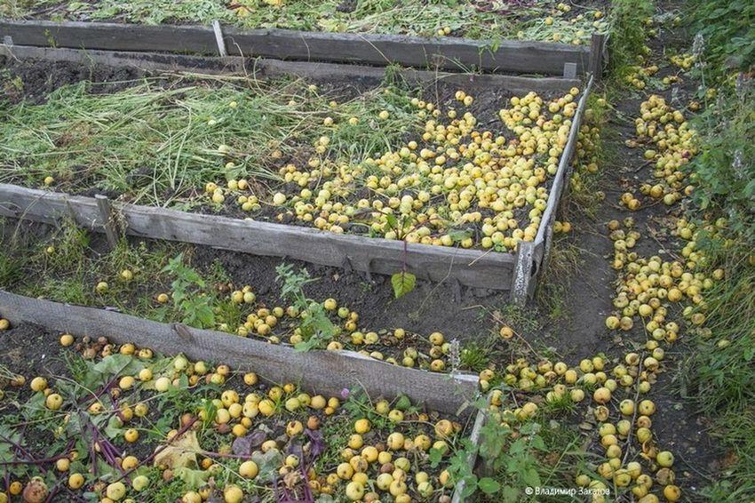 яблоки урал Природа природароссии деревня Россия сад садогород Apple Nature