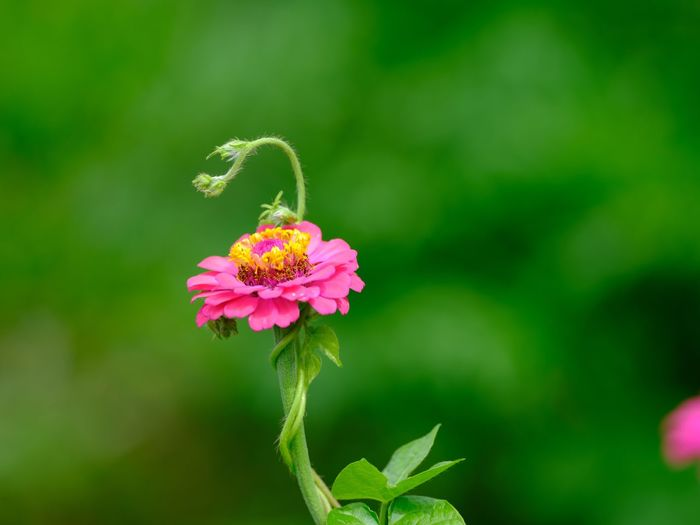 花と蔓 Flowering Plant Flower Plant Fragility Growth Vulnerability  Freshness Flower Head Close-up Pink Color Day Green Color Zinnia