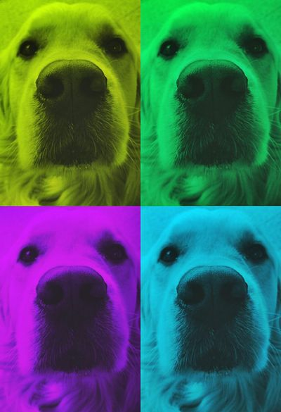 Goldenretriever Golden Retriever Posing Dog Dog Love Dogs