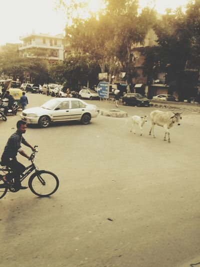 Indian Bus Indian Traffic Traffic In India Indian Cow India Cows On The Street Indian Culture  Indiapictures