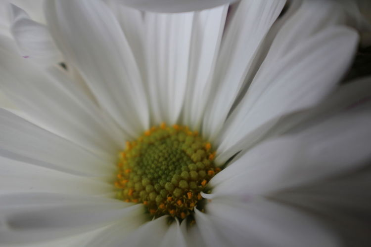 Daisy Macro Photography Nature Nature Photography Tint Beauty In Nature Blooming Close-up Day Flower Flower Head Flower Petals Fragility Freshness Growth Lovely Macro Nature No People Outdoors Petal Petals Pink Tint Pollen White