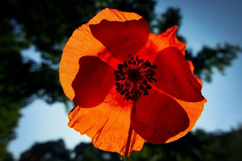 Poppy Poppy Flower Plant Flowering Plant Flower Close-up Red Nature Focus On Foreground Beauty In Nature Fragility Tree Growth Freshness No People Flower Head Low Angle View Orange Color Sky Vulnerability  Inflorescence Petal