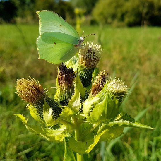 green butterfly #EyeEm Nature Lover #EyeEm Best Shots EyeEmBestPics Butterfly Butterfly - Insect Butterfly Closed Wings EyeEm Best Shots - Nature Insect Thistle Flower Perching Close-up Animal Themes Plant Green Color Butterfly - Insect Flower Head