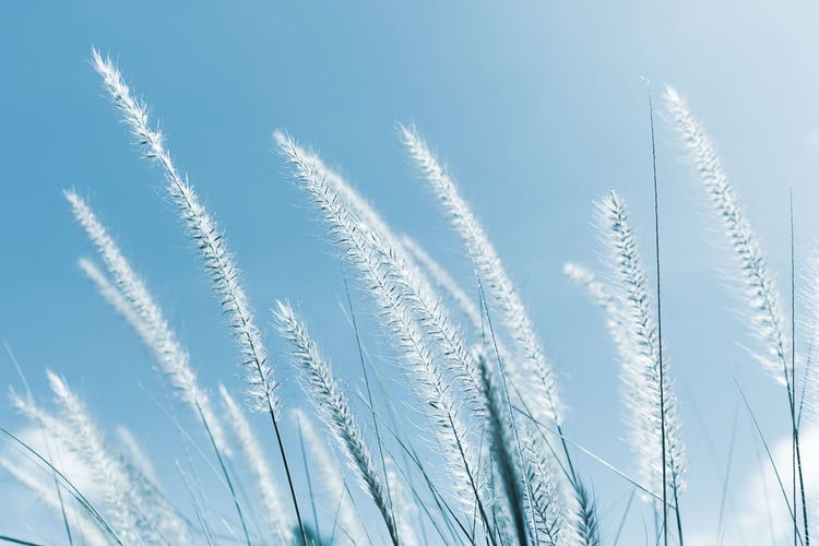 Imperata cylindrica Beauv or Cogon Grass of Feather grass Plant No People Growth Nature Close-up Beauty In Nature Blue Grass Sky Day White Color Tranquility Backgrounds Pattern Outdoors Clear Sky Sunlight Winter Environment Softness Silver Colored Cogon Grass Imperata Cylindrica Beauv Feather Grass