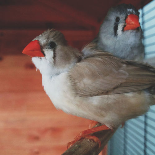 Animal Themes Birds Cage Close-up Cute Domestic Animals Indoors  Nature No People Perching Pets Corner Portrait Two Birds Young Bird Zebra Finch Baby Animals Cute Pets