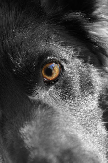 Salem, a GSD x Border Collie. Taken with a Nikon D3200 Alertness Animal Animal Body Part Animal Eye Mammal No People Pets Portrait Selective Focus Staring