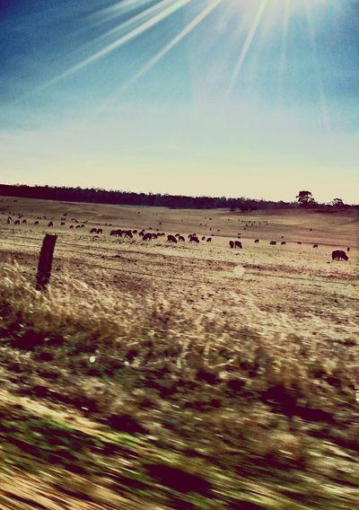 Countryside Sheep Sheeps Sheep@Work Farm Phoneography Photooftheday EyeEmBestPics PhonePhotography Beesofeyeem