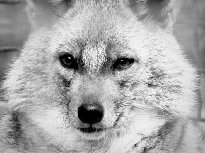 Portrait Looking At Camera Pets Close-up Outdoors Fox Wolf Nature Moment Blackandwhite Blackandwhite Photography Eyeemphotography Todayphotography Animalphotography Zoophotography No People From My Point Of View Blackandwhitephotography Wild Wildlifephotography Wolfphotography Face Faces Of EyeEm Wildanimal Animal Themes