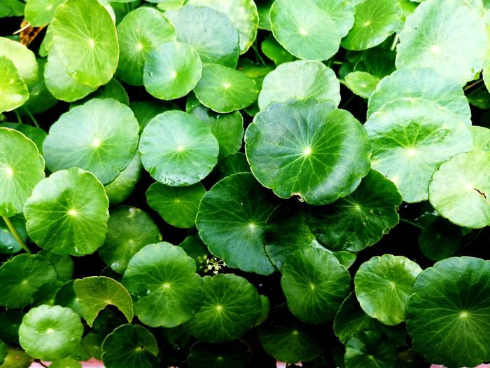 Water Backgrounds Leaf Full Frame Abstract Close-up Green Color Plant Lotus Abstract Backgrounds Plant Life Photosynthesis Water Lily Lily Pad In Bloom Pond Lily Lotus Water Lily Stamen Blooming Relaxed Moments Floating On Water Hibiscus Day Lily Delicate Blossom Tree Ring Color Gradient Water Plant Dew