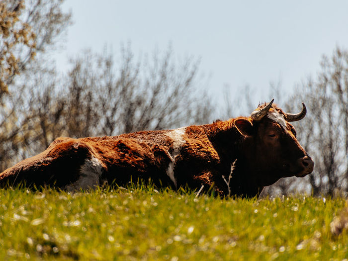 View of a bull on field