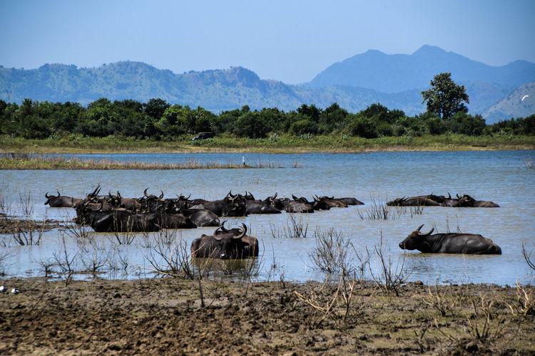 Water buffalos, Uduwale safari Animal Themes Animals In The Wild Animal Wildlife Animal Water Mountain Safari Animals Lake Sky Landscape Water Buffalo Safari