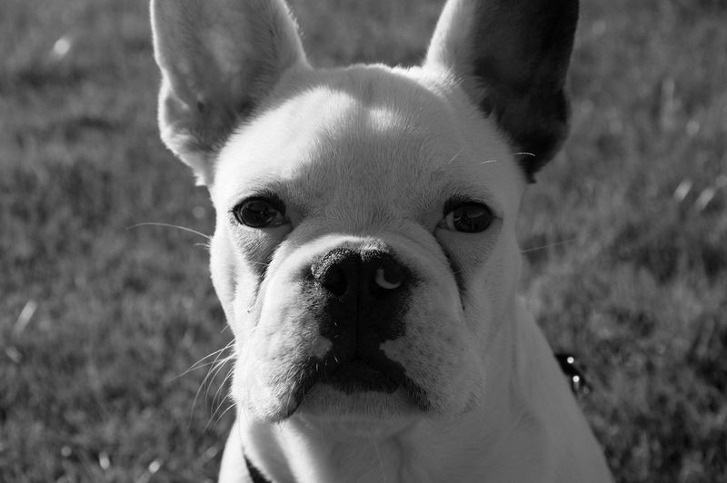 EyeEmNewHere Animal Head  Animal Themes Close-up Day Dog Domestic Animals Focus On Foreground Frenchbulldog Grass Looking At Camera Mammal Nature No People One Animal Outdoors Pets Portrait