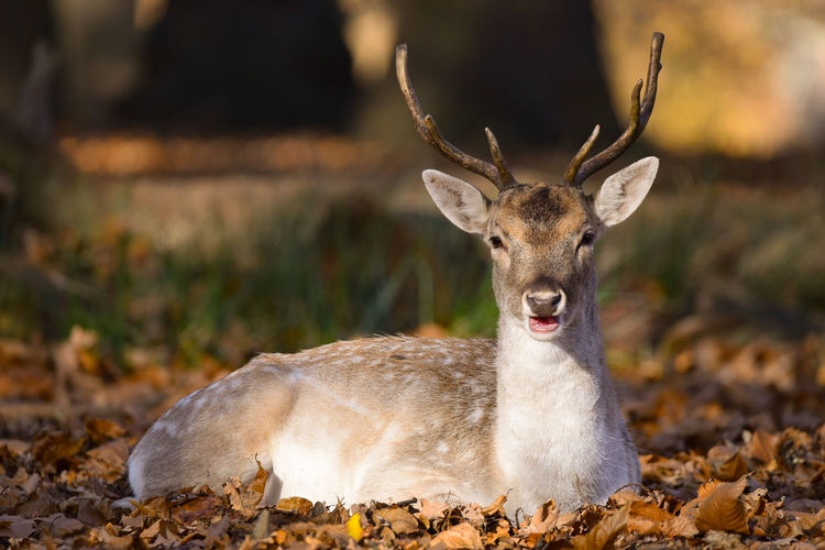 fallow deer Fallow Deer Leaves 🍁 EyeEm Selects Animal Wildlife Animal Antler Deer Animals In The Wild Mammal Autumn Portrait Lying Down Outdoors Nature No People Beauty In Nature Looking At Camera Stag Beauty Natural Parkland