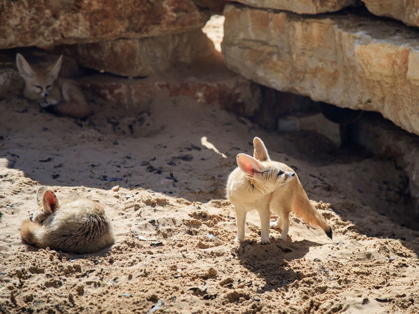 Two Fennec Foxs rest on the sand on a sunny day and a third looks out for prey Business Grass Nature Ramat Gan - Tel Aviv Travel Tree View Zoo Adaptation Animal Themes Attraction Biology Conservation Day Environment Israel Landscape Mammal Nationalpark Population Reserve Safari Scene Tourism Wildlife