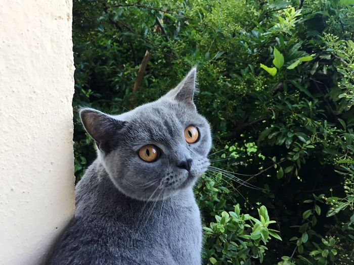 EyeEm Selects British Shorthair Feline window garden nature View From Indoors Out Plant