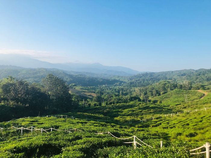 Tea field Scenics - Nature Beauty In Nature Plant Growth Sky Tranquility Landscape Green Color Tranquil Scene Environment Land Nature Tree Field Mountain Crop  Agriculture Clear Sky Day