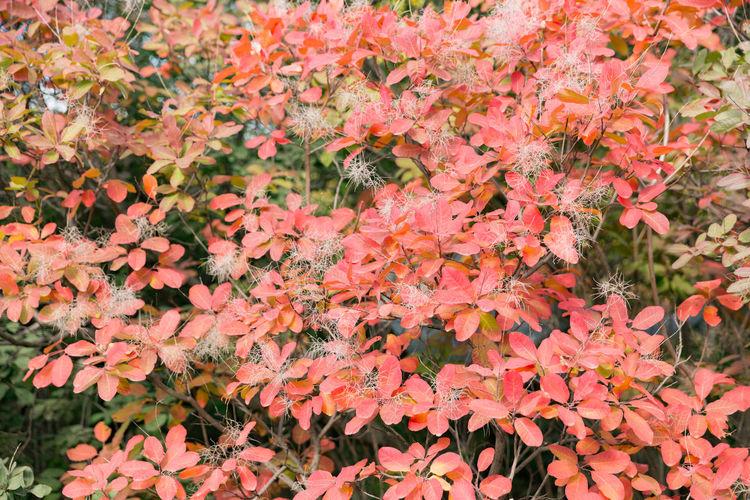 Full frame shot of orange maple leaves