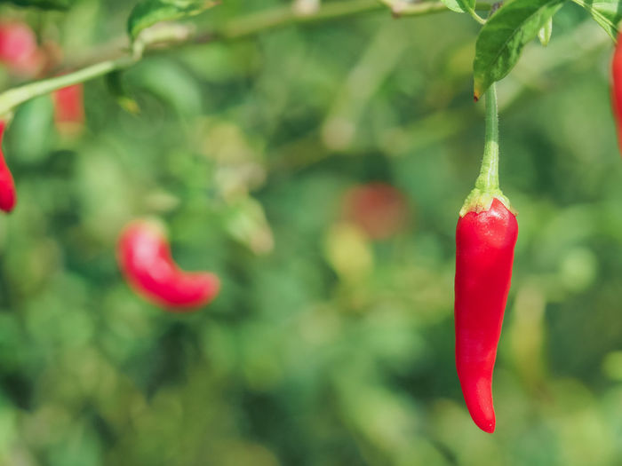 Close-Up Of Red Chili Peppers Growing On Plant