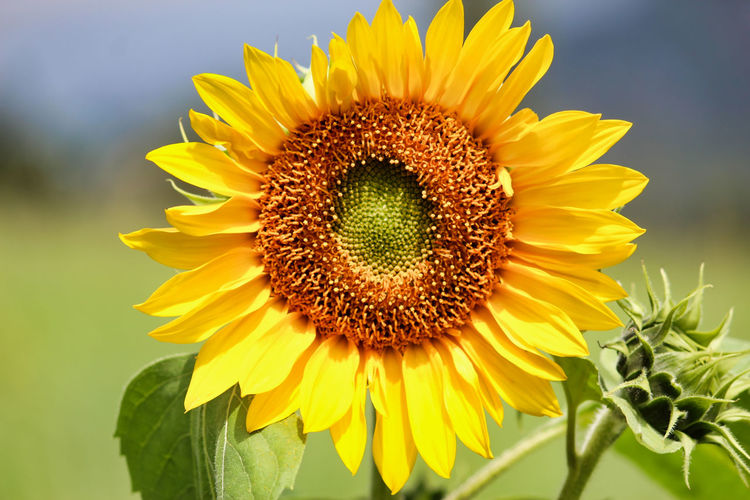 Close-Up Of Sunflower Blooming In Sunny Day