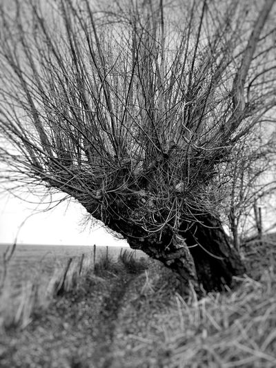 Pollard williow in Dutch landscape Bare Tree Outdoors Nature Beauty In Nature Willow Tree No People Day Bare Trees Silhouettes Netherlands 3XSPUnity Black And White Photography Nature Low Angle View
