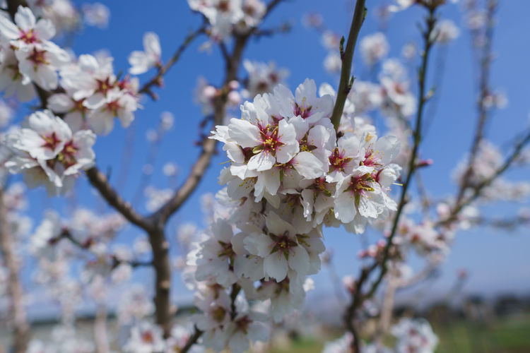 Fragility Flower Flowering Plant Plant Freshness Vulnerability  Tree Beauty In Nature Growth Blossom Branch Cherry Blossom Springtime Close-up Focus On Foreground Nature Petal Day Fruit Tree White Color No People Flower Head Cherry Tree Pollen Outdoors