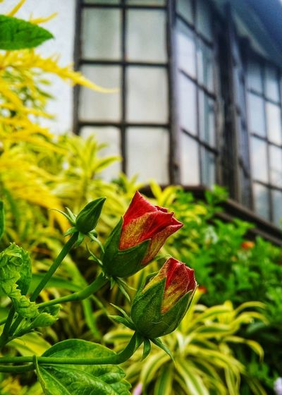 Buds Plant Green Color Leaf Flower Outdoors Focus On Foreground Day Growth Architecture Building Exterior No People Close-up Nature Freshness Flower Head Fragility
