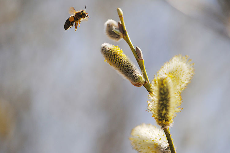 Close-up of bee hovering by pussy willow