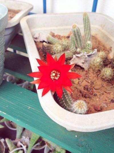 Flor de cactos 💕🌵 Flower Cactos Primavera Nature