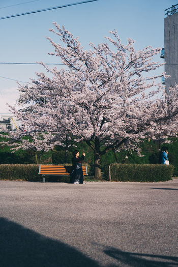 View of cherry blossom trees by road against sky