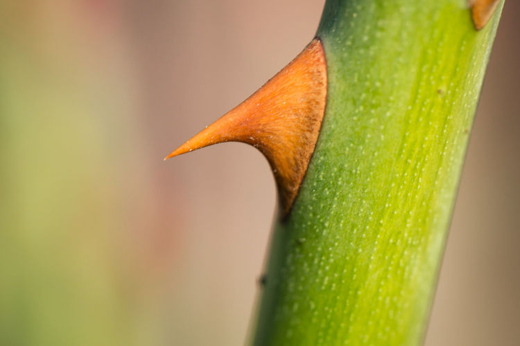 Close-up of thorn on stem