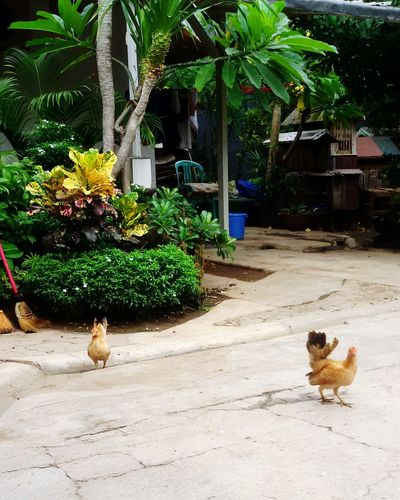Chickens Are Pets Jakarta Indonesia Family❤ Day Off Family Matters Home