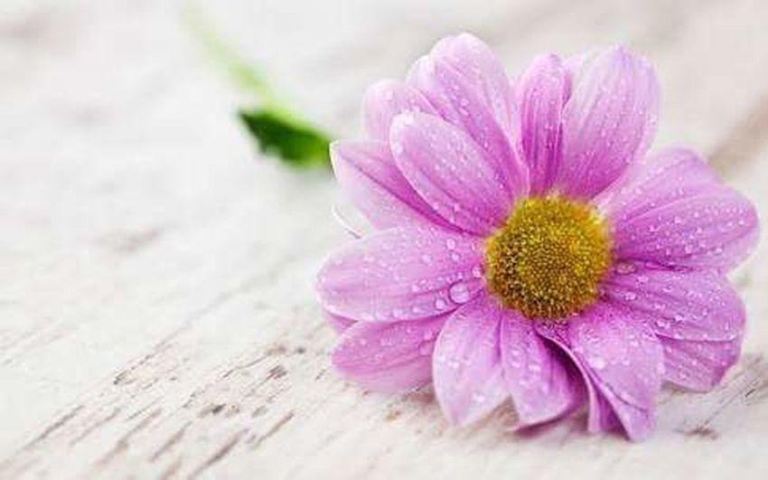 ดอกชมพู Flower Close-up Pink Color Plant No People Beauty Nature Flower Head Body Care Freshness Fragility Outdoors Day Beauty In Nature