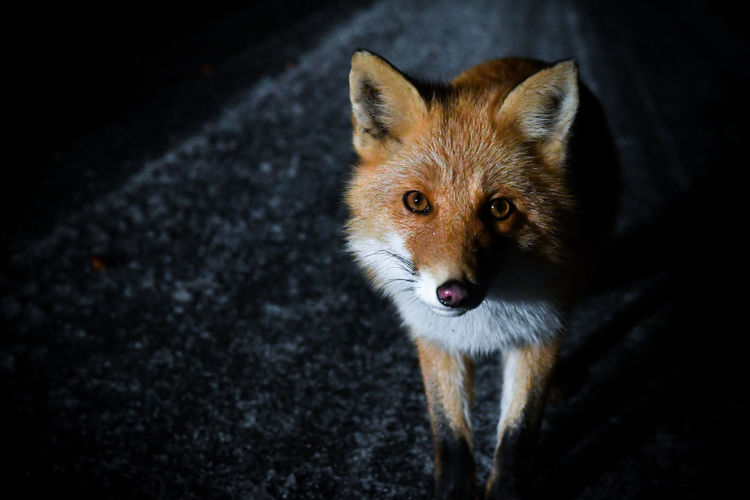 High angle portrait of fox standing outdoors at night