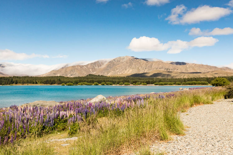 Amazing Wanaka New Zealand Scenery Lupin Sky Scenics - Nature Tranquil Scene Tranquility Beauty In Nature Plant Cloud - Sky Water Nature Land Mountain Day No People Grass Environment Landscape Non-urban Scene Idyllic Blue Outdoors Wanaka Lake