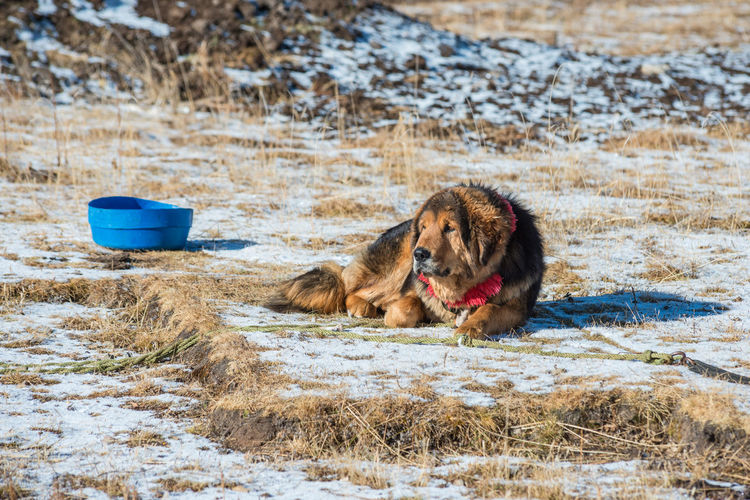 Dog lying on snow covered land