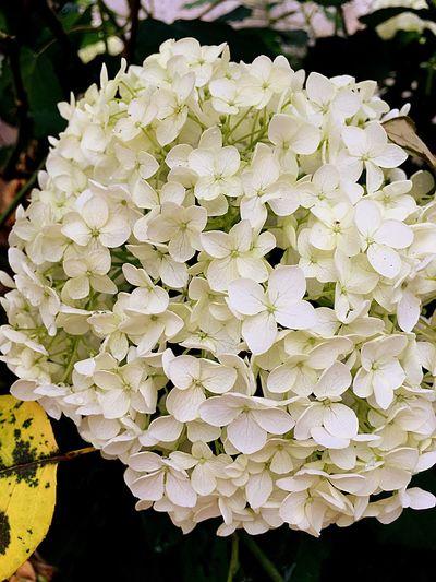 Fleurs Hydrangea Annabella