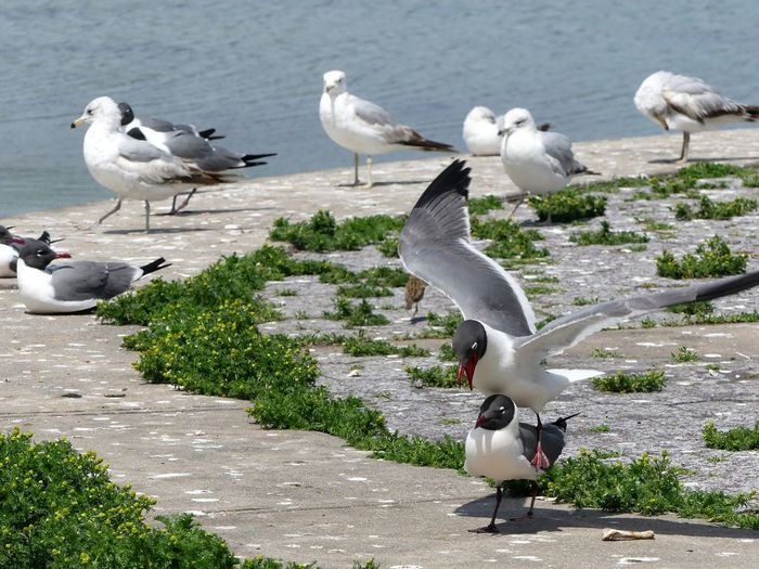 Black-Headed Gulls And Seagulls Against Lake