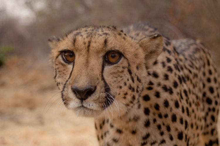 Wild cheetah Safari Animals In The Wild Animal Animal Wildlife Portrait Nature Animal Body Part No People Safari Animals Mammal One Animal Plain THREATS Animal Themes Day Outdoors Close-up Leopard Cultures Cheetah The Great Outdoors - 2017 EyeEm Awards