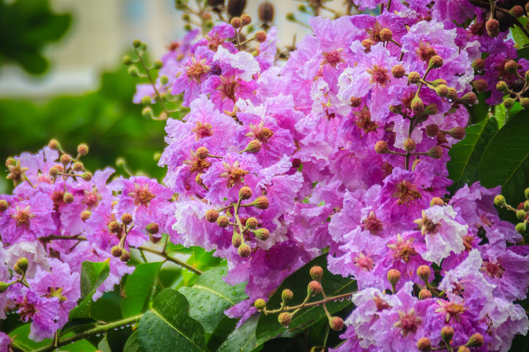 Beautiful purple flower of Lagerstroemia speciosa (giant crape-myrtle, Queen's crape-myrtle, banaba plant for Philippines, or Pride of India), species of Lagerstroemia native to tropical southern Asia Giant Crape-myrtle Lagerstroemia Flower Lagerstroemia Speciosa Lagerstroemia Floribunda Lagerstroemia Indica Lagerstroemia Speciosa (L) Pers. Lagerstroemia Speciosa Fl Lagerstroemia Speciosa Flower Lagerstroemia Speciosa Pers. Pride Of India Purple Flower Garden Purple Flower Macro Purple Flower Petal Queen's Crape Myrtle Banaba Plant Beauty In Nature Blossom Botany Bunch Of Flowers Close-up Day Flower Flower Head Flowering Plant Fragility Freshness Growth Inflorescence Lagerstroemia Leaf Lilac Nature No People Outdoors Petal Pink Color Plant Plant Part Purple Purple Flower Purple Flower Against Green Background Purple Flower Close Up Purple Flower Head Purple Flower Heads Purple Flowers Purple Flowers Close Up Springtime Vulnerability