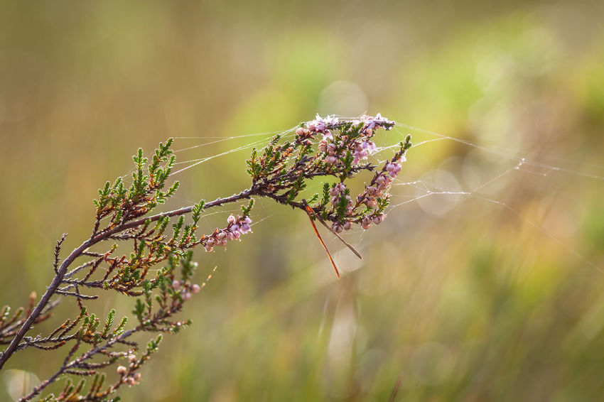 Autumn Norway Animal Beauty In Nature Beauty In Nature Close-up Day Field Flower Flowering Plant Focus On Foreground Fragility Freshness Growth Macro Nature No People Outdoors Plant Plant Stem Selective Focus Spider Web Sunlight Tranquility Vulnerability  The Great Outdoors - 2018 EyeEm Awards