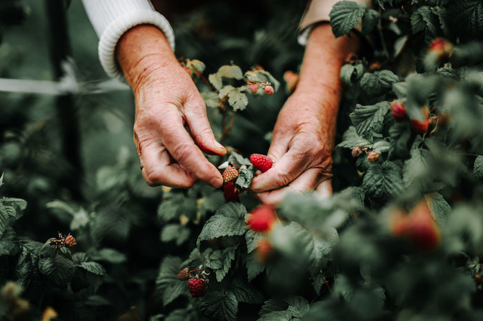 Adult Agriculture Berry Fruit Farmer Food Food And Drink Freshness Fruit Gardening Growth Hand Healthy Eating Human Body Part Human Hand Leaf Nature One Person Outdoors Picking Plant Plant Part Ripe