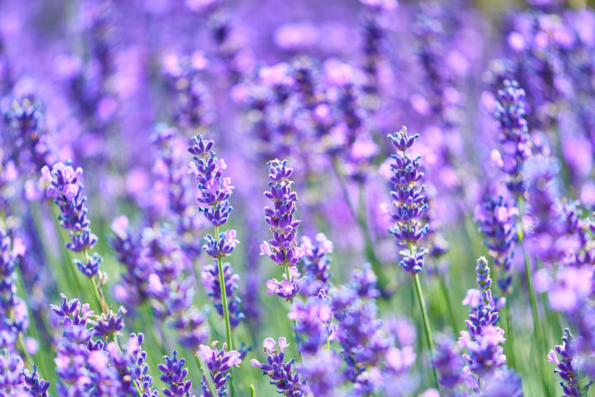 Lavendelfeld Backgrounds Beauty In Nature Close-up Field Flower Flower Head Flowerbed Flowering Plant Fragility Freshness Land Lavender Nature No People Outdoors Plant Purple Selective Focus Vulnerability