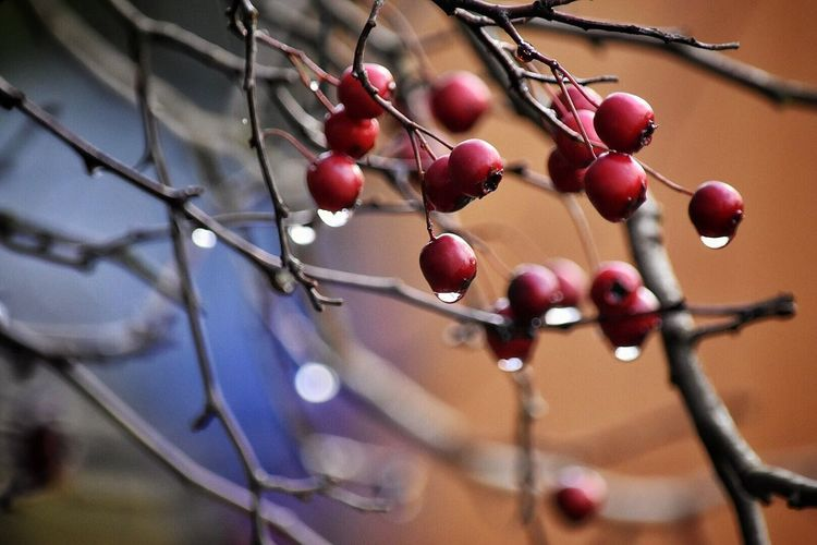 Close-up Growth Fruit No People Nature Food And Drink Tree Day Outdoors Rose Hip Branch Freshness Wintertime Water Droplets Rainy Days Outside On A Walk Outdoor Photography Outside Photography Rowanberry Beauty In Nature Freshness Berry Fruit Focus On Foreground Rose Hip