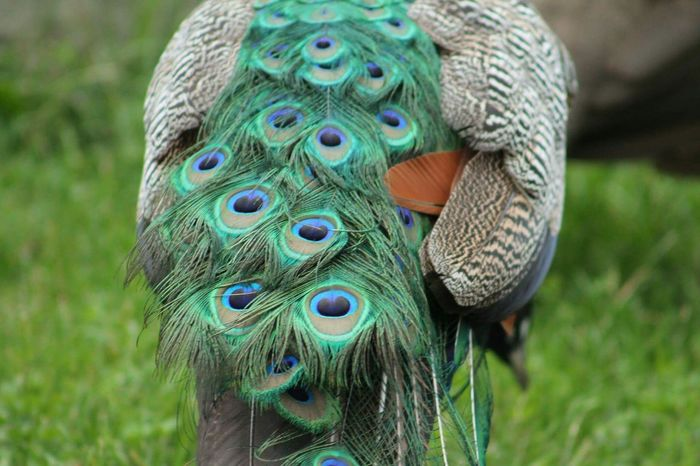 Peacock Peacock Feather Feather  One Animal Animal Head  Animal Wildlife Animal Animal Themes Green Color Multi Colored No People Bird Nature