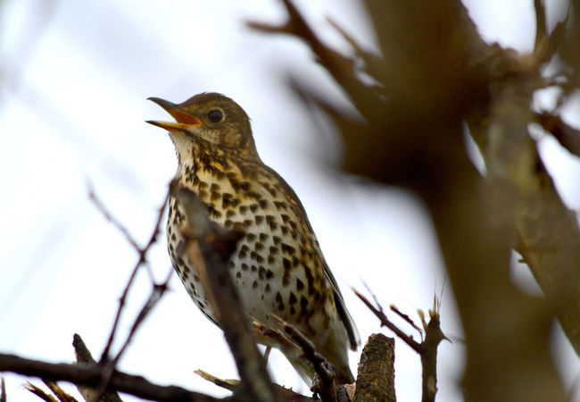 Song Thrush, turdus philomelos Song Thrush Turdus Philomelos Animal Themes Animal Wildlife Animals In The Wild Beauty In Nature Bird Branch Close-up Day Focus On Foreground Low Angle View Nature No People One Animal Outdoors Perching Robin Thrush Tree