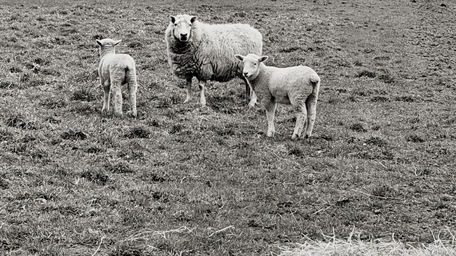 sheep Lambs And